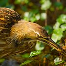 American Bittern and Crawfish by Paul Wolf