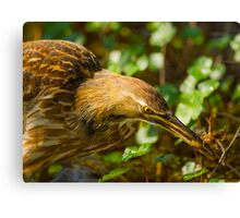 American Bittern and Crawfish Canvas Print