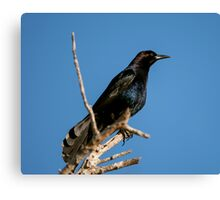 Boat-tailed Grackle Canvas Print