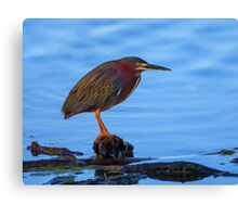 Green Heron in Breeding Plumage - Digital Oil Canvas Print