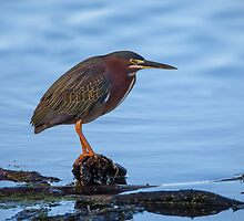 Green Heron in Breeding Plumage by Paul Wolf