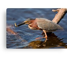 Green Heron with a Fish Canvas Print