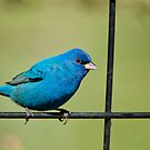 Indigo Bunting by Bonnie T.  Barry