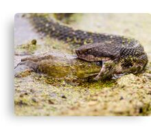 Moccasin Eating Bullfrog Canvas Print