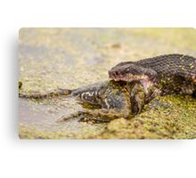 Water Moccasin Eating Bullfrog Canvas Print