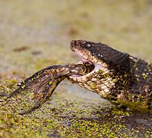 Moccasin Eating Bullfrog with Only Feet Left by Paul Wolf