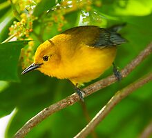 Male Prothonotary Warbler by Paul Wolf