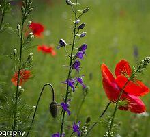 field of flowers by KSKphotography