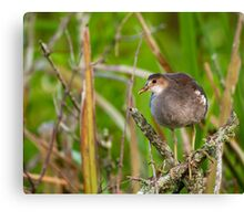 Juvenile Purple Gallinule in a Tree Canvas Print