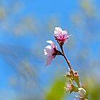 Cherry Blossom by Susan S. Kline