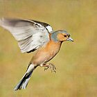 Chaffinch in flight by Margaret S Sweeny