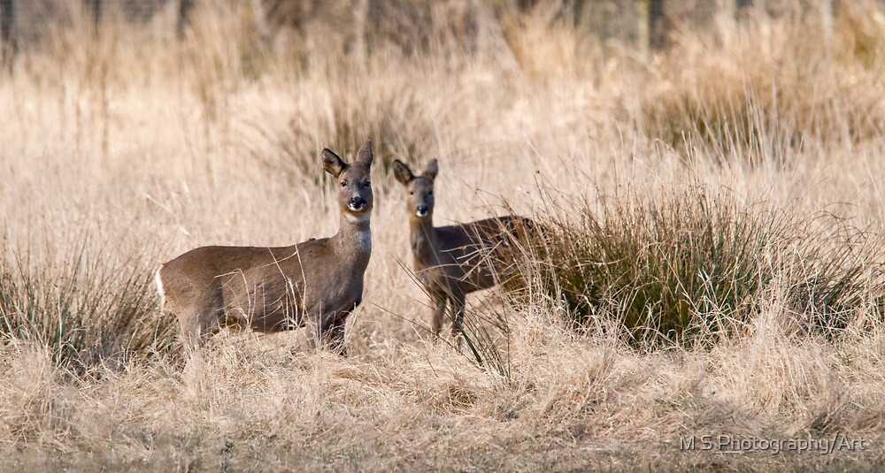 Roe Deer by M.S. Photography/Art