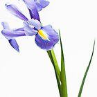 Iris by redfibres
