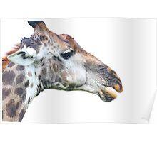 Giraffe profile up close ! Poster