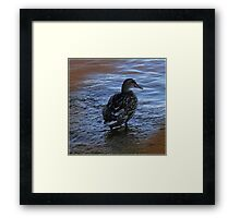 Female Mallard Duck Framed Print
