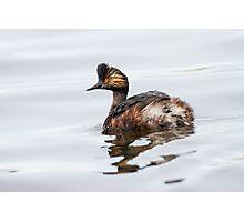Eared Grebe (Podiceps nigricollis): The Quick Change Artist Photographic Print