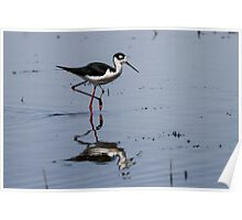 Black-necked Stilt (Himantopus mexicanus): When Larvae Metamorphose, Waders Feast Poster