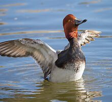 Redhead Drake (Aythya americana): Sun Salutation by John Williams