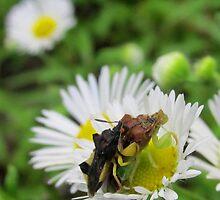 Breeding Ambush Bugs by Joshua Bales