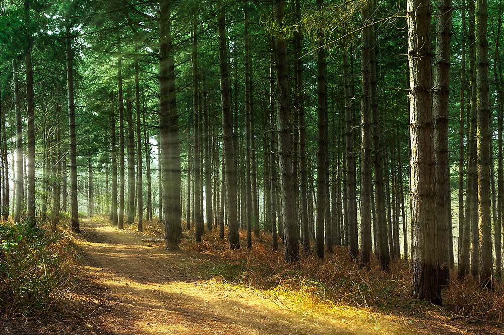 Forest Sun Rays by Svetlana Sewell
