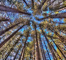 Reach For The Sky - Sugar Pine Walk Laurel Hill NSW - The HDR Experience by Philip Johnson