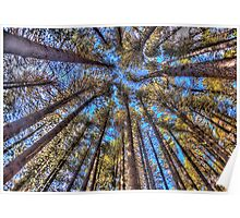 Reach For The Sky - Sugar Pine Walk Laurel Hill NSW - The HDR Experience Poster