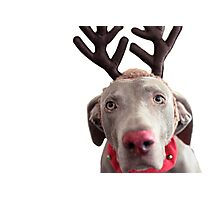Rudolph the Red Nosed Reindeer? Photographic Print