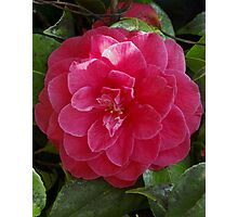 protected camelia portrait Photographic Print