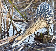 Bittern Fishing by Alan Forder