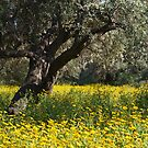The Old Olive Grove by Alex Cassels