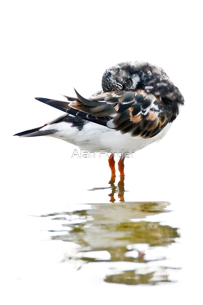 Sleeping Turnstone by Alan Forder
