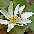 Hoverfly - Syrphid Fly - on Bloodroot Wildflower by MotherNature