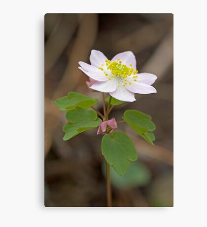 Rue Anemone Wildflower - Pink - Thalictrum thalictroides Canvas Print