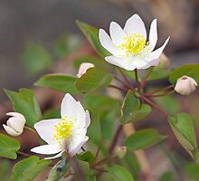 Rue Anemone Wildflower - Pale Pink - Thalictrum thalictroides by MotherNature