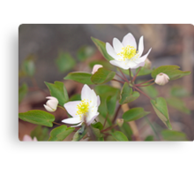 Rue Anemone Wildflower - Pale Pink - Thalictrum thalictroides Metal Print