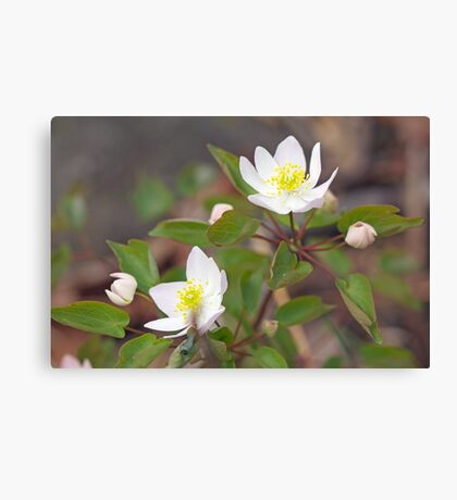 Rue Anemone Wildflower - Pale Pink - Thalictrum thalictroides Canvas Print