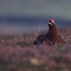 Red Grouse by Jane Horton