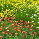 Flower fields at the Huntington Library. by philw