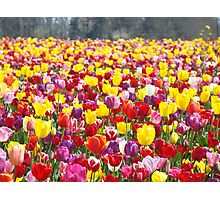 Tulip Flowers art prints Colorful Spring Tulips Festival Photographic Print