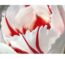 Tulip Flowers art prints Pink White Tulips Photography Photographic Print