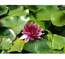 Bright Pink Waterlily Photographic Print