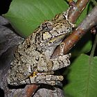 Cope&#x27;s Gray Treefrog  by Michael L Dye