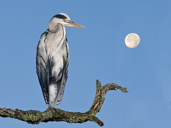 Grey heron  by Alan Forder