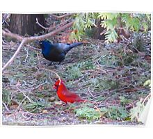 The Grackle and the Cardinal Poster