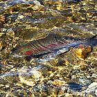 Rainbow Trout by joycemlheureux