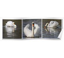 Swan triptych Poster