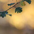 Hawthorn dawn by Pauline-W