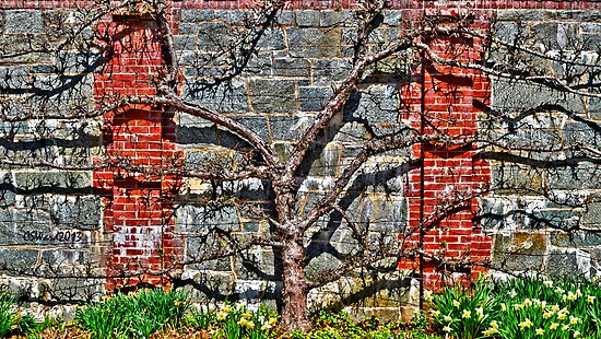 Espalier Apple and Daffodils, Please . . . by Caleb Ward