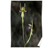 Leporella fimbriatus (Fringed Hare-orchid) 2 Poster