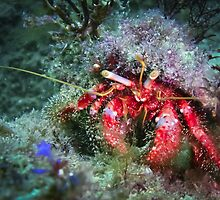 Hairy Red Hermit Crab by WillOwyong